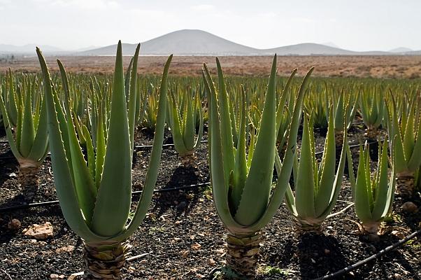 Une plantation d'Aloe Vera