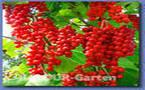 Le schisandra, encore une plante miracle ?