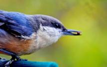 Faut-il nourrir les oiseaux l'hiver ?