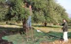 Oléiculture : la Kabylie produit la meilleure huile d'olive en Algérie
